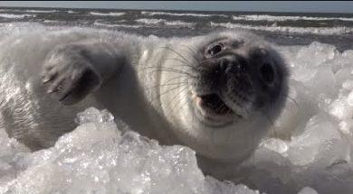 Детеныши тюленей набираются сил в Вентспилсе