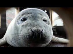 Baltijas jūrā brīvība palaiž roņu mazuli